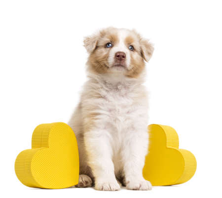 Australian Shepherd puppy sitting between two yellow hearts and gift, present against white background photo