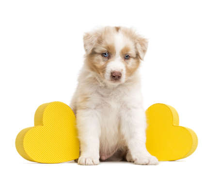 Sad Australian Shepherd puppy sitting between two yellow hearts against white background photo