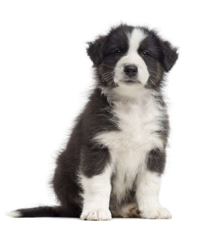 Australian Shepherd puppy, 8 weeks old, sitting and portrait against white background photo