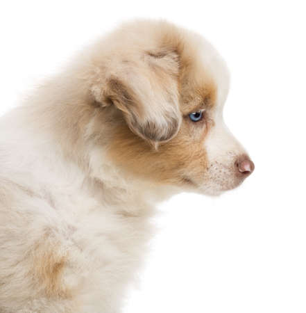 Side view and close-up of an Australian Shepherd puppy, 8 weeks old against white background photo