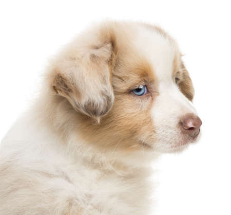 Close-up of an Australian Shepherd puppy, 8 weeks old, looking away against white background photo