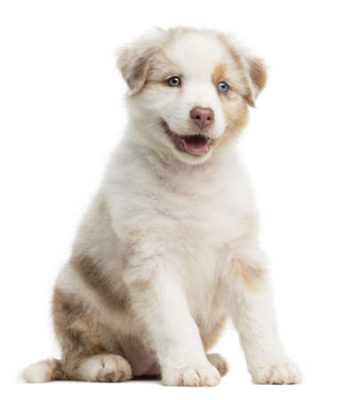 Australian Shepherd puppy, 8 weeks old, sitting against white background photo