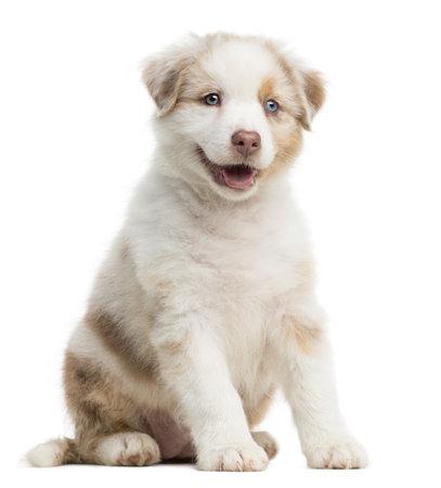 australian shepherd: Australian Shepherd puppy, 8 weeks old, sitting against white background Stock Photo
