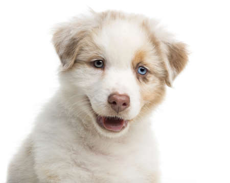 Close-up of an Australian Shepherd puppy, 8 weeks old against white background photo