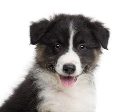 Close-up of an Australian Shepherd puppy, 8 weeks old, portrait against white background photo