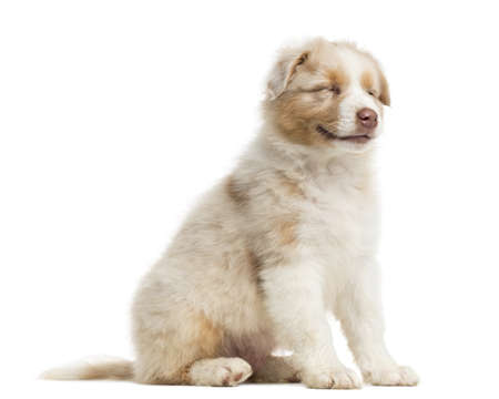 Side view of an Australian Shepherd puppy, 8 weeks old, sitting and smiling, eyes closed against white background photo
