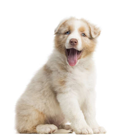 australian shepherd: Australian Shepherd puppy, 8 weeks old, sitting, portrait and panting against white background