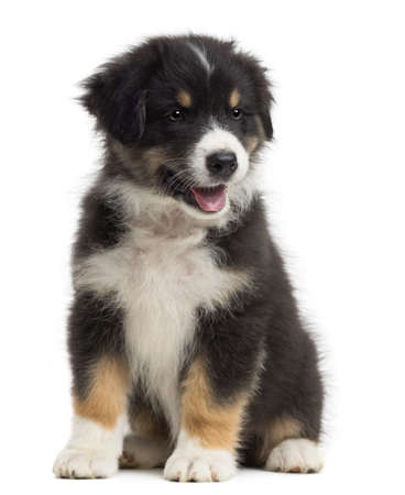 australian shepherd: Australian Shepherd puppy, 8 weeks old, sitting and looking away against white background