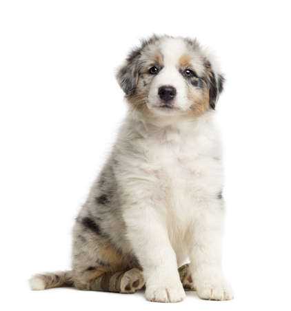 Australian Shepherd puppy with bandage, 8 weeks old, sitting, portrait against white background photo