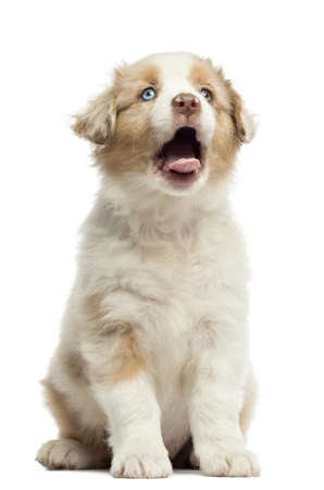 Australian Shepherd puppy, 8 weeks old, sitting and yawning against white background photo