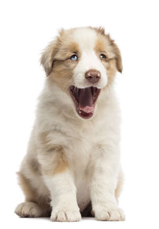 Australian Shepherd puppy, 8 weeks old, sitting and yawning against white background Stock Photo - 16485485