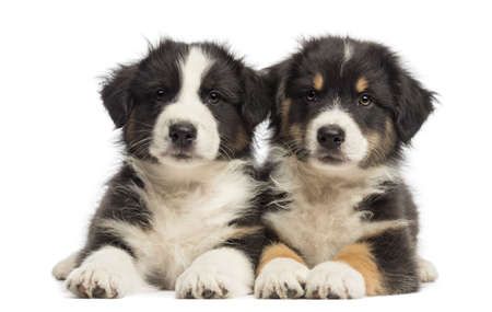 australian shepherd: Two Australian Shepherd puppies, 2 months old, lying against white background