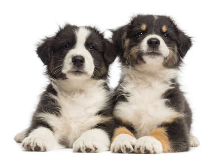 Two Australian Shepherd puppies, 2 months old, lying against white background photo