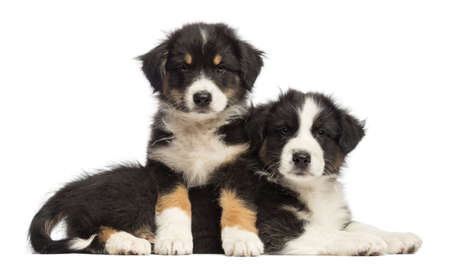 Australian Shepherd puppies lying on another, 2 months old, against white background photo