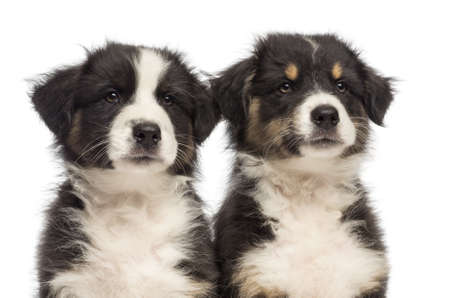 Close-up of Two Australian Shepherd puppies, 2 months old, looking away against white background photo