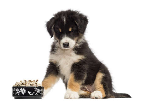 2 months: Australian Shepherd puppy, 2 months old, sitting and looking at bowl of food against white background