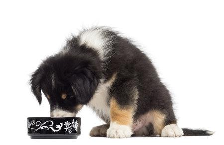 perro comiendo: Australian Shepherd puppy, 2 meses de edad, sentado y comiendo del tazón de fuente contra el fondo blanco Foto de archivo