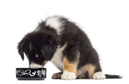 Australian Shepherd puppy, 2 months old, sitting and eating from bowl against white background photo