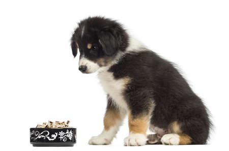 Australian Shepherd puppy, 2 months old, sitting and looking at bowl of food against white background photo