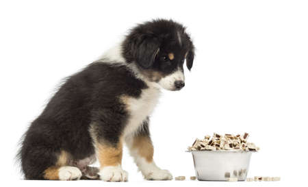 australian shepherd: Australian Shepherd puppy, 2 months old, sitting and looking at bowl of food against white background