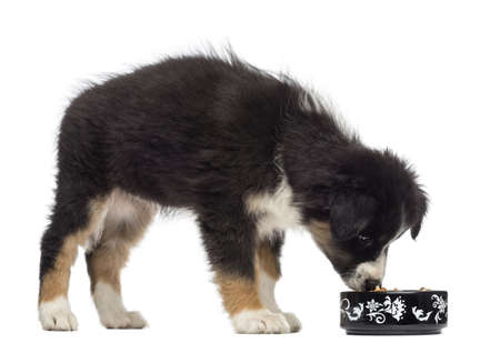 Australian Shepherd puppy, 2 months old, standing and eating from bowl against white background photo
