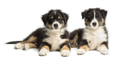 Two Australian Shepherd puppies, 2 months old, lying and looking at camera against white background photo