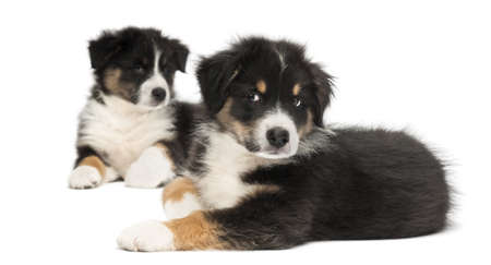 Two Australian Shepherd puppies, 2 months old, lying, focus on foreground against white background photo