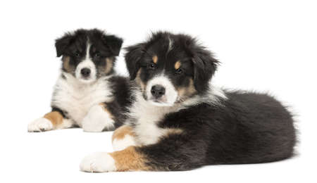 australian shepherd: Two Australian Shepherd puppies, 2 months old, lying, focus on foreground against white background