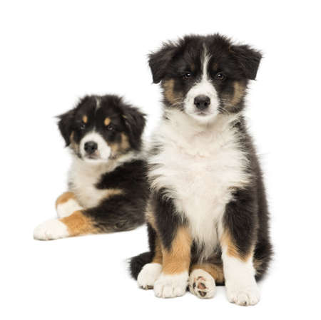 Two Australian Shepherd puppies, 2 months old, sitting with focus on foreground against white background photo