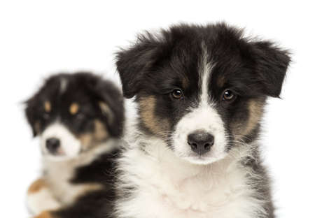 Close-up of Two Australian Shepherd puppies, 2 months old,  focus on foreground against white background photo