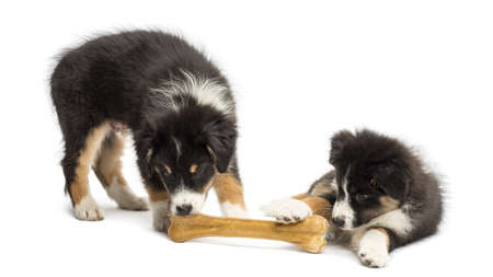 Two Australian Shepherd puppies, 2 months old, eating knuckle bone against white background photo