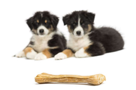 out of focus: Two Australian Shepherd puppies, 2 months old, lying and looking at knuckle bone against white background