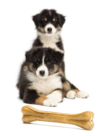 Two Australian Shepherd puppies, 2 months old, lying and looking at knuckle bone against white background photo