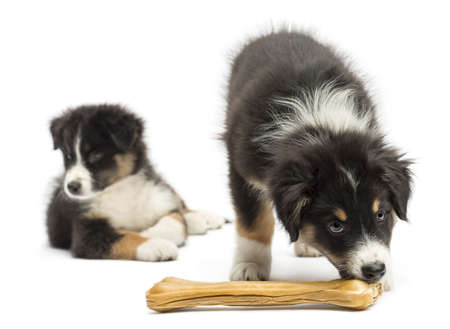 Two Australian Shepherd puppies, 2 months old,  one is eating knuckle bone as other looks away against white background photo