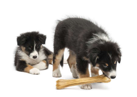 Two Australian Shepherd puppies, 2 months old,  one watching other eating knuckle bone against white background photo