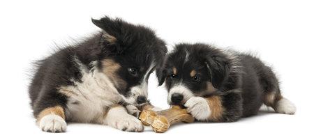 hueso de perro: Dos cachorros de pastor australianos, 2 meses de edad, mentir y comer hueso nudillo contra el fondo blanco