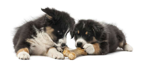 dog bone: Two Australian Shepherd puppies, 2 months old, lying and eating knuckle bone against white background Stock Photo