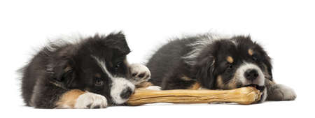 Two Australian Shepherd puppies, 2 months old, lying and eating knuckle bone against white background photo