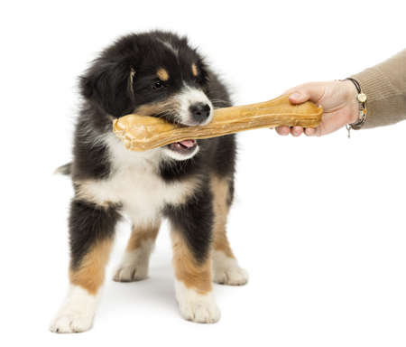 australian shepherd: Australian Shepherd puppy, 2 months old, holding knuckle bone in its mouth against white background Stock Photo