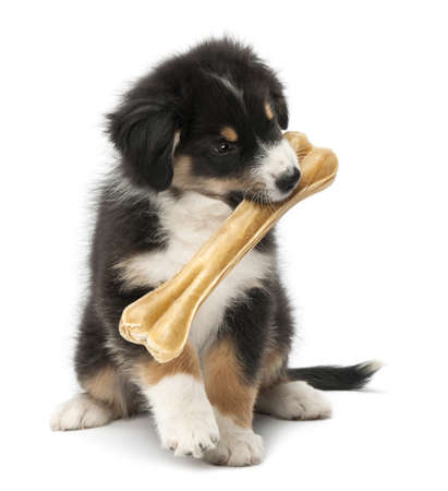 australian shepherd: Australian Shepherd puppy, 2 months old, sitting and holding knuckle bone in its mouth against white background