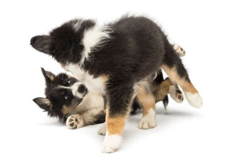 kampfhund: Zwei Australian Shepherd Welpen, 2 Monate alt, spielen im Kampf gegen weißen Hintergrund
