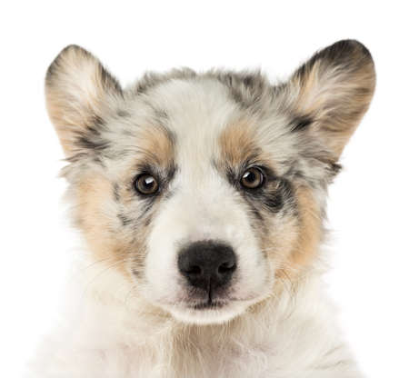 Close-up of an Australian Shepherd puppy, 2 months old, with ears up against white background photo
