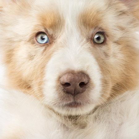 Close-up of an Australian Shepherd puppy, 2 months old, full frame photo