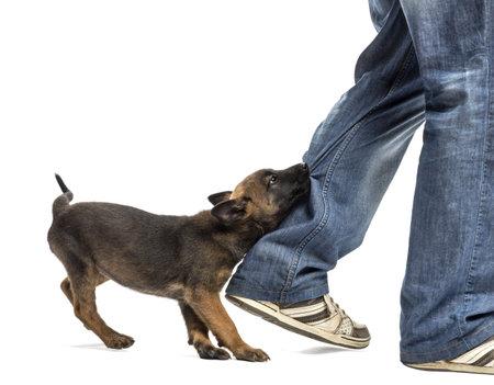 biting: Belgian shepherd puppy biting leg against white background Stock Photo