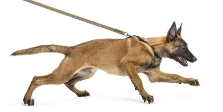 lead: Belgian Shepherd leashed, trying to run against white background