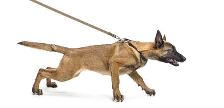 Belgian Shepherd leashed against white background