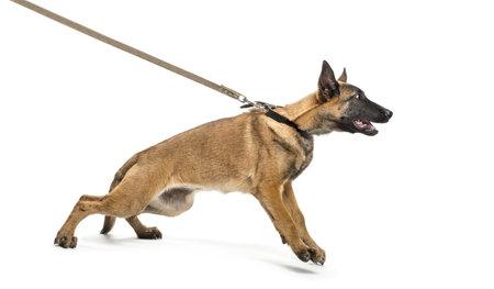 perro furioso: Pastor belga correa contra el fondo blanco