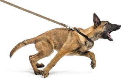 dog on leash: Pastor belga correa y agresivo contra el fondo blanco