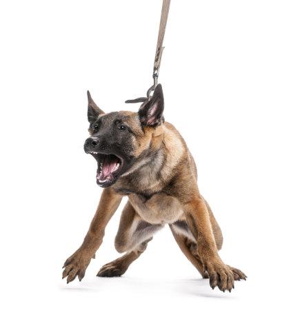 perro furioso: Pastor belga correa y agresivo contra el fondo blanco