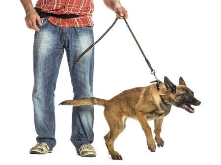 perro correa: Hombre que sostiene la correa de pastor belga agresivo contra el fondo blanco Foto de archivo